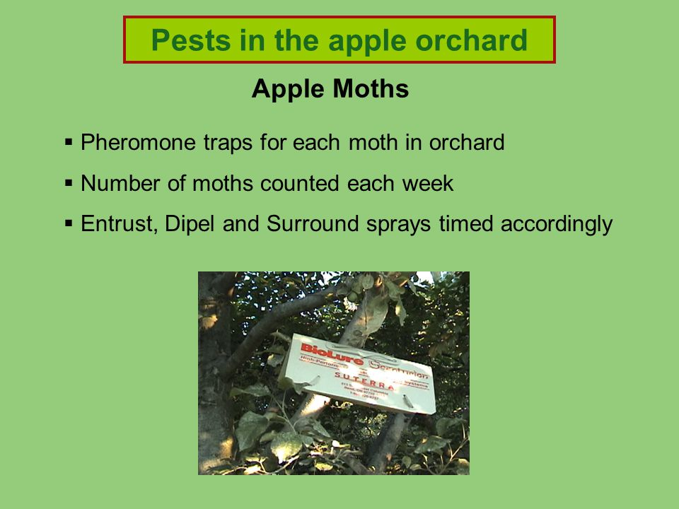 Apple Moths  Pheromone traps for each moth in orchard  Number of moths counted each week  Entrust, Dipel and Surround sprays timed accordingly Pest