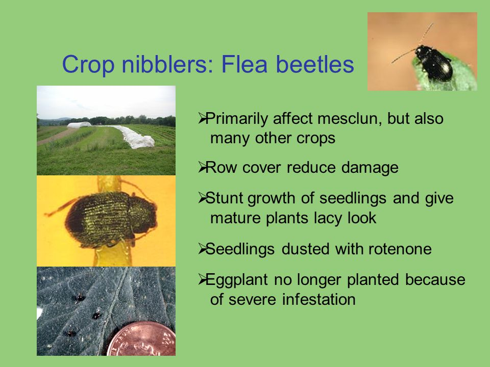 Crop nibblers: Flea beetles  Primarily affect mesclun, but also many other crops  Row cover reduce damage  Stunt growth of seedlings and give matur
