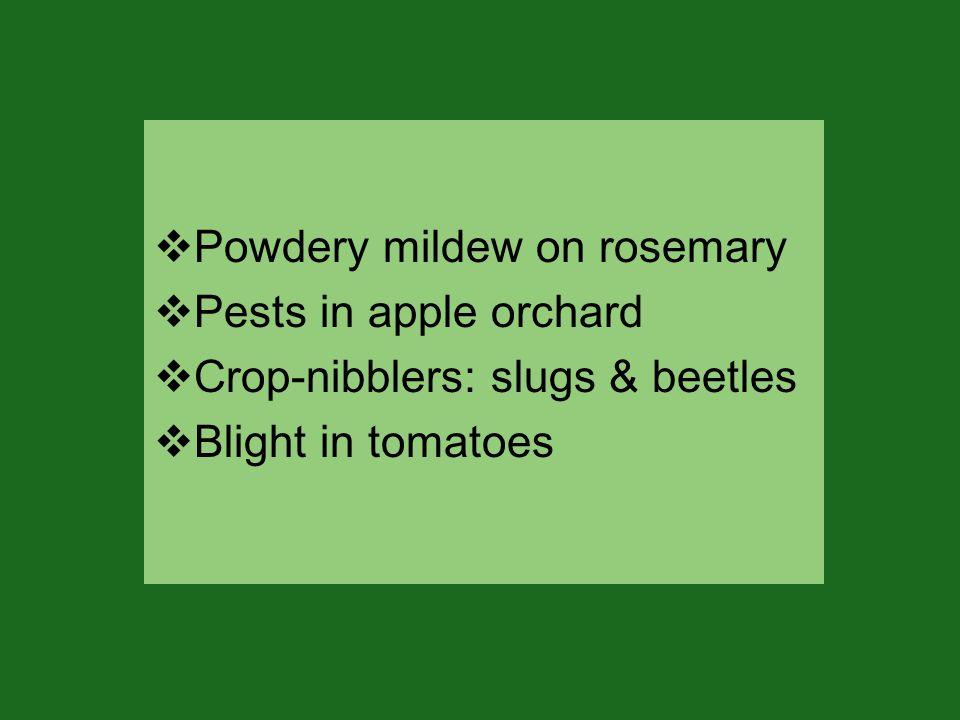  Powdery mildew on rosemary  Pests in apple orchard  Crop-nibblers: slugs & beetles  Blight in tomatoes