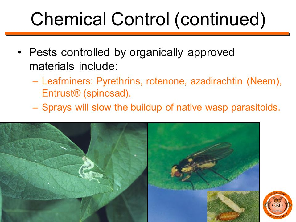 Chemical Control (continued) Pests controlled by organically approved materials include: –Leafminers: Pyrethrins, rotenone, azadirachtin (Neem), Entrust® (spinosad).