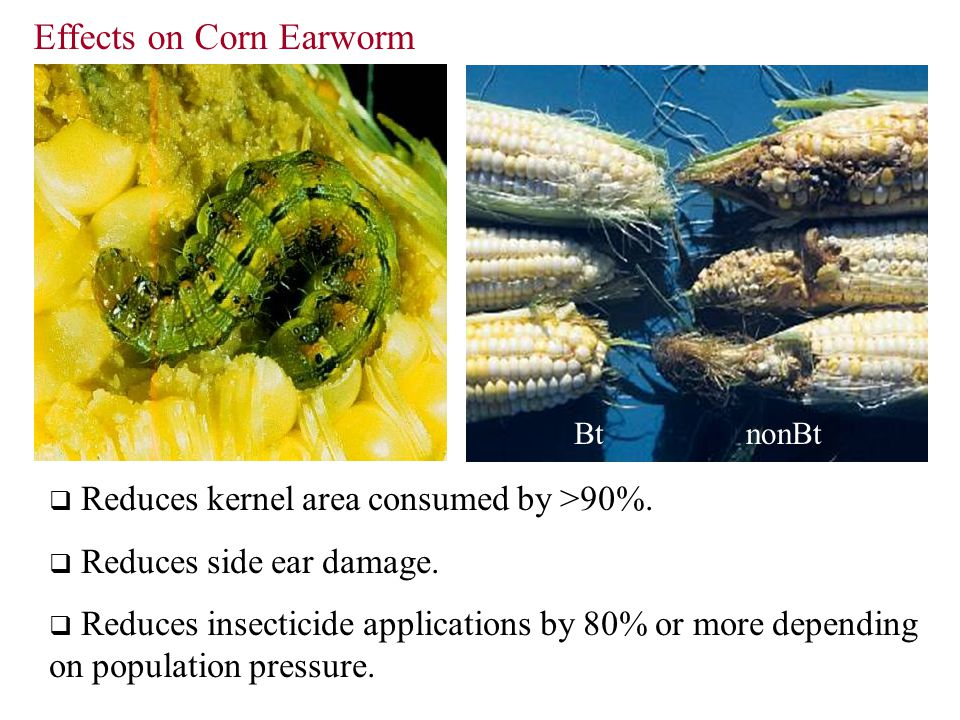 Effects on Corn Earworm  Reduces kernel area consumed by >90%.  Reduces side ear damage.  Reduces insecticide applications by 80% or more depending