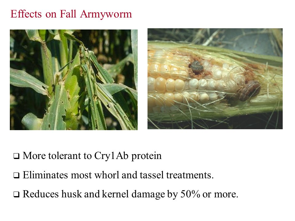 Effects on Fall Armyworm  More tolerant to Cry1Ab protein  Eliminates most whorl and tassel treatments.  Reduces husk and kernel damage by 50% or m