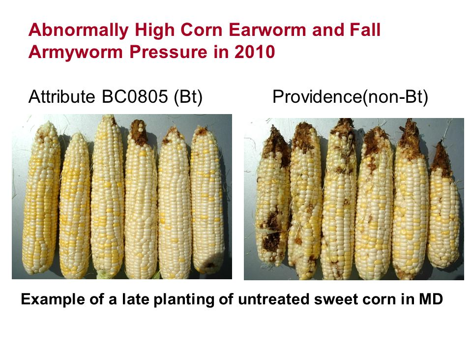 Attribute BC0805 (Bt)Providence(non-Bt) Abnormally High Corn Earworm and Fall Armyworm Pressure in 2010 Example of a late planting of untreated sweet