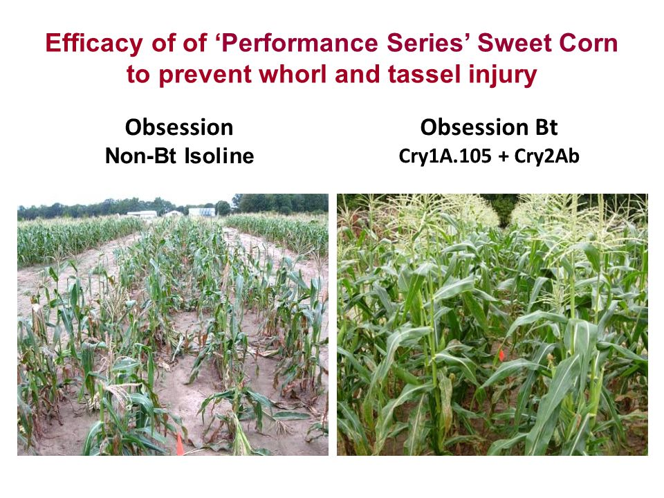 Efficacy of of 'Performance Series' Sweet Corn to prevent whorl and tassel injury Obsession Bt Cry1A.105 + Cry2Ab Obsession Non-Bt Isoline