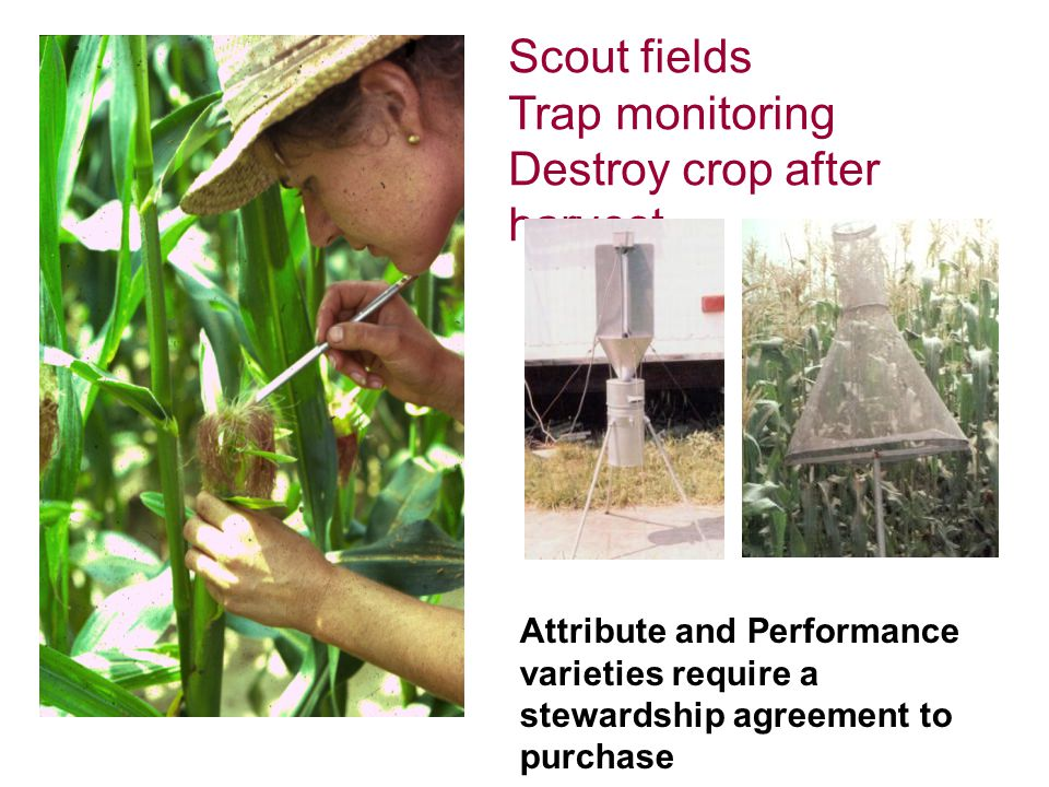 Scout fields Trap monitoring Destroy crop after harvest Attribute and Performance varieties require a stewardship agreement to purchase