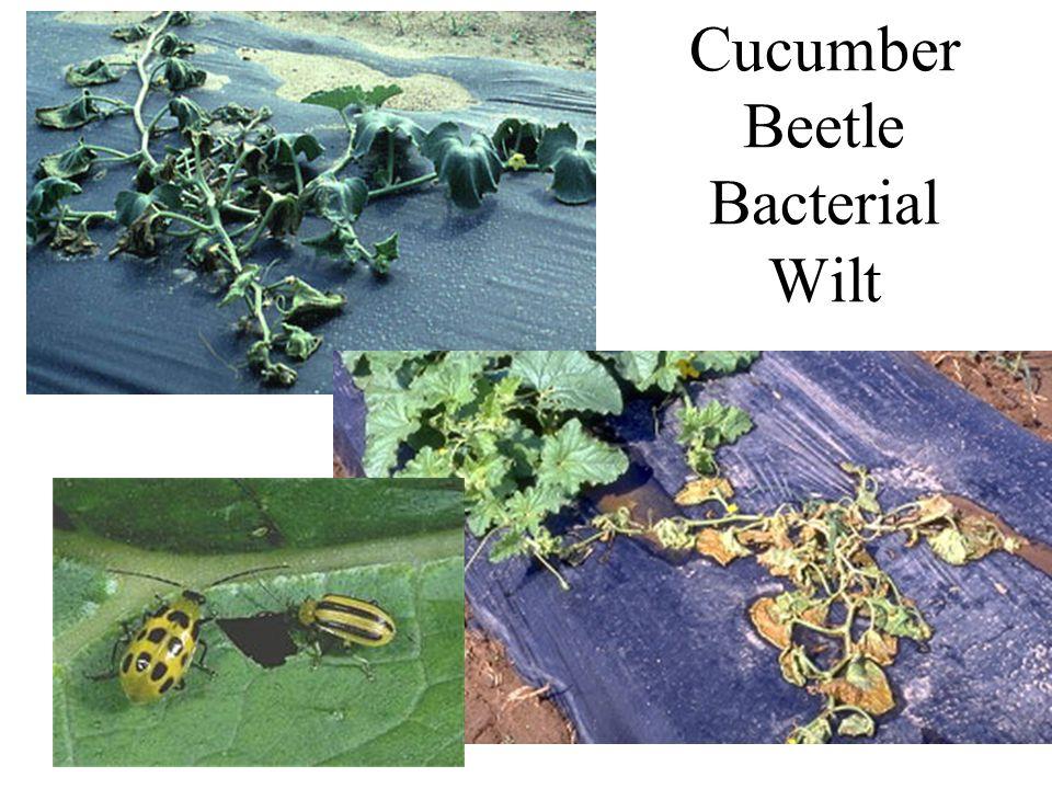 Cucumber Beetle Bacterial Wilt