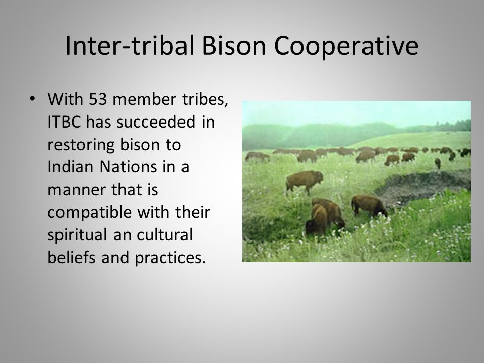 Inter-tribal Bison Cooperative With 53 member tribes, ITBC has succeeded in restoring bison to Indian Nations in a manner that is compatible with their spiritual an cultural beliefs and practices.