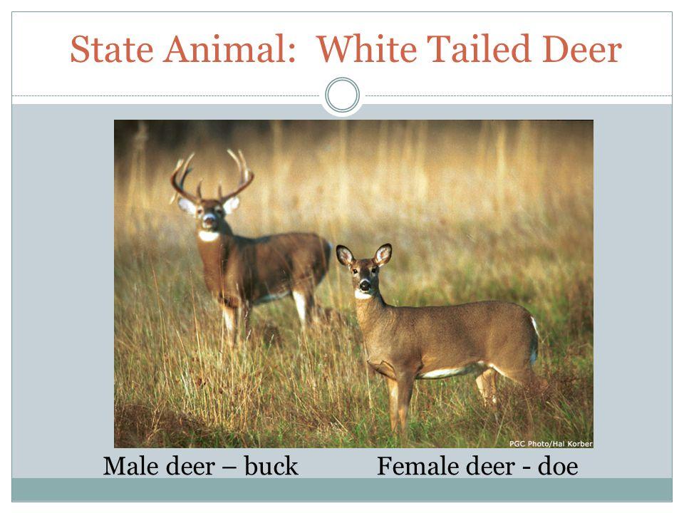 State Animal: White Tailed Deer Male deer – buckFemale deer - doe