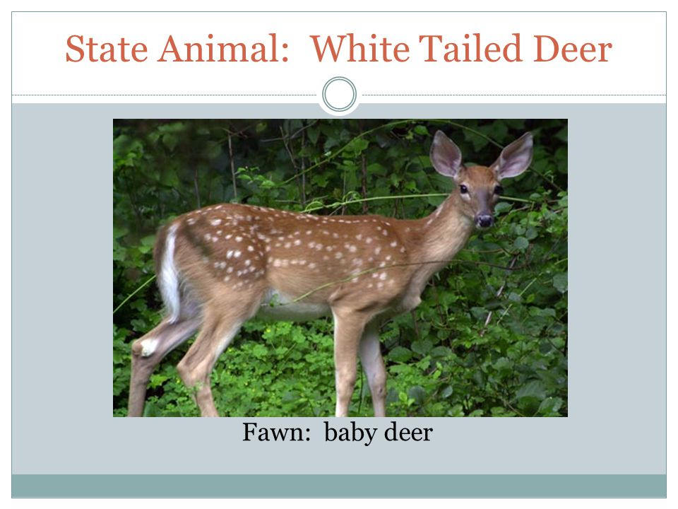 State Animal: White Tailed Deer Fawn: baby deer