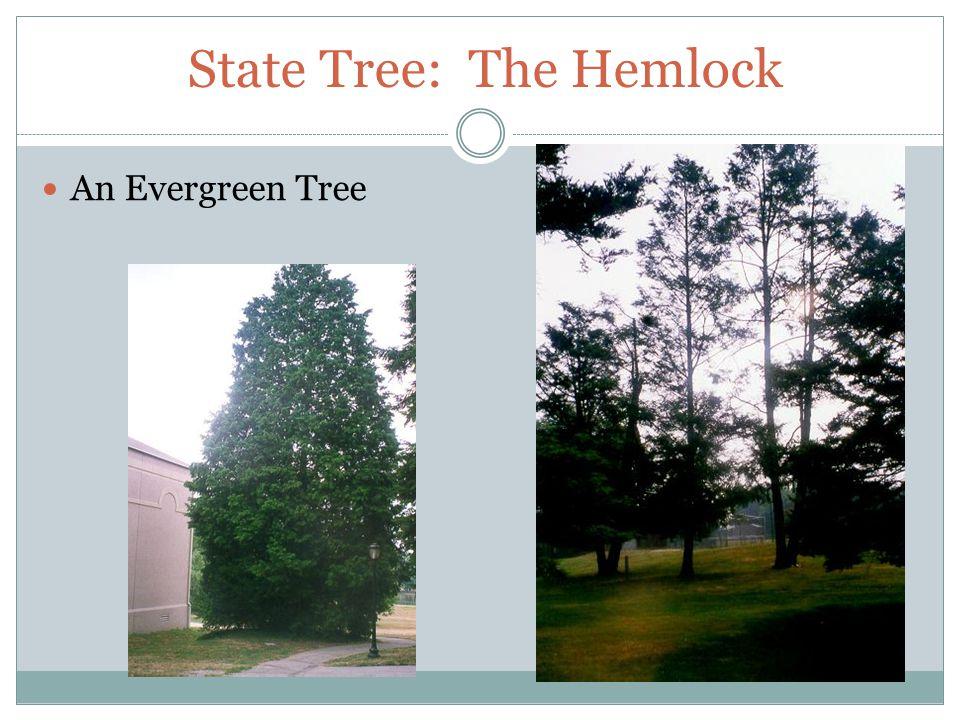 State Tree: The Hemlock An Evergreen Tree