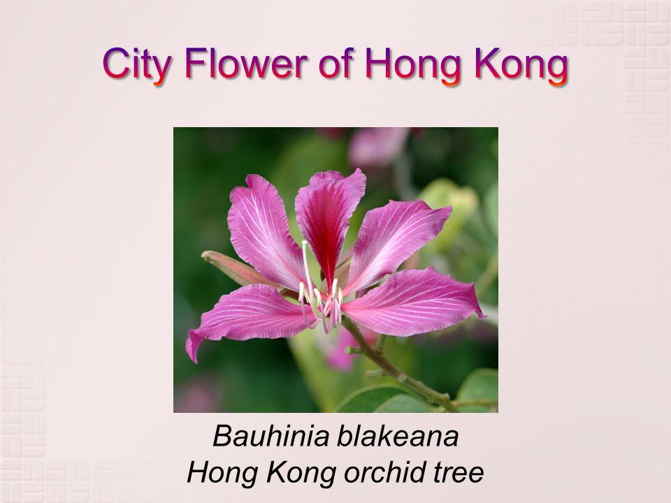 Bauhinia blakeana Hong Kong orchid tree