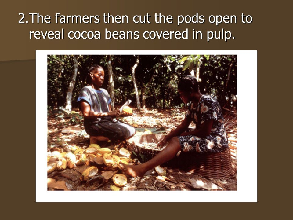 2.The farmers then cut the pods open to reveal cocoa beans covered in pulp.