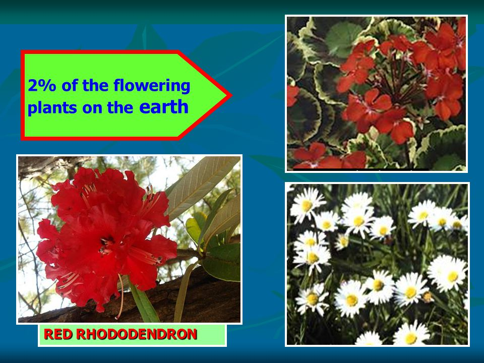 2% of the flowering plants on the earth RED RHODODENDRON
