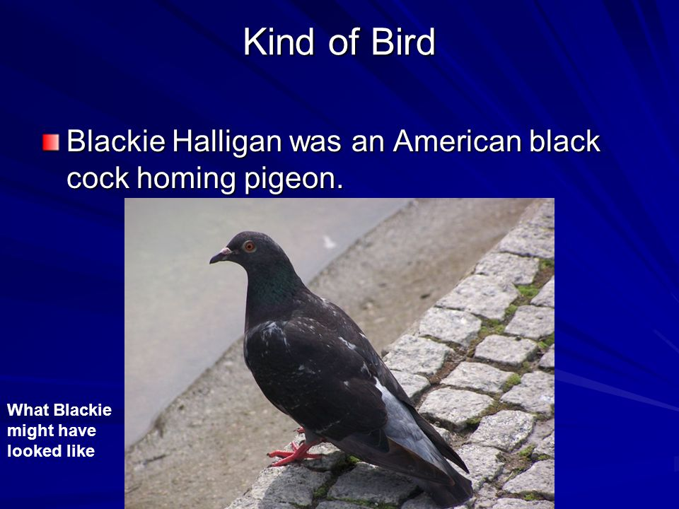 Pigeon Heroes Our Pigeon Hero is: Blackie Halligan By: Kassidy, Emma, Jason and Mikey