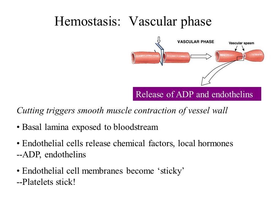 Hemostasis: Vascular phase Cutting triggers smooth muscle contraction of vessel wall Basal lamina exposed to bloodstream Endothelial cells release chemical factors, local hormones --ADP, endothelins Endothelial cell membranes become 'sticky' --Platelets stick.