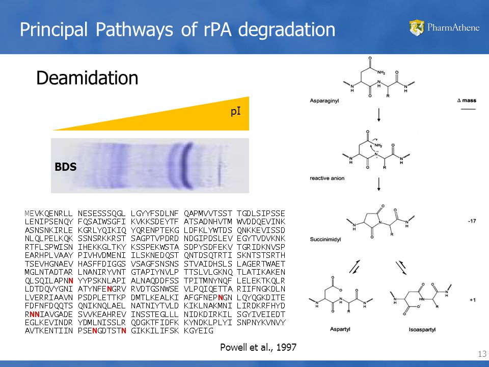 13 Principal Pathways of rPA degradation pI Deamidation Powell et al., 1997 BDS
