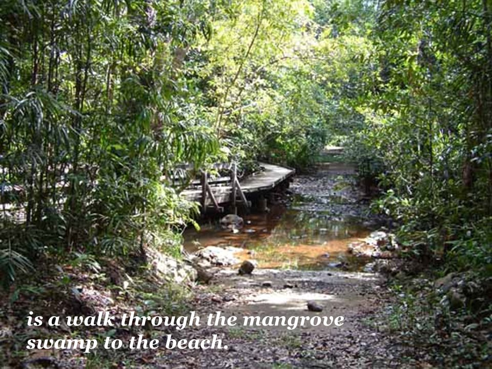 is a walk through the mangrove swamp to the beach.