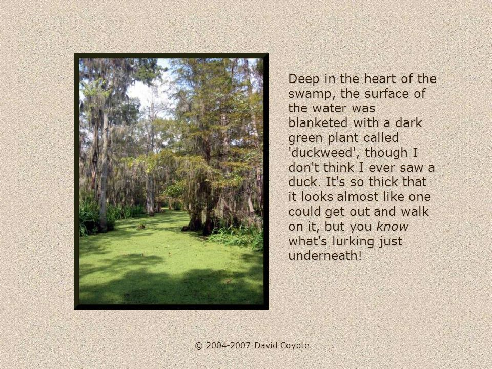 © 2004-2007 David Coyote I did see a few turtles sunning themselves on fallen logs, and some long-legged birds that were hunting wiggly things in the water.