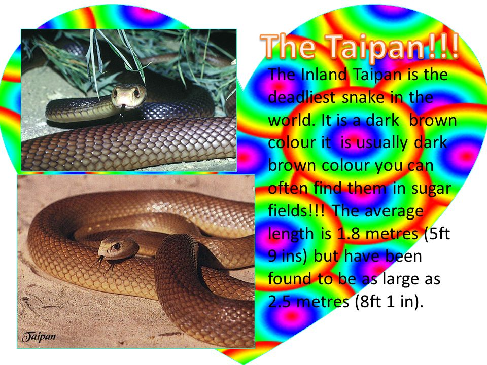 The Inland Taipan is the deadliest snake in the world.