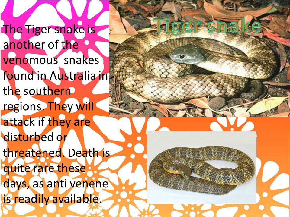 The Tiger snake is another of the venomous snakes found in Australia in the southern regions.