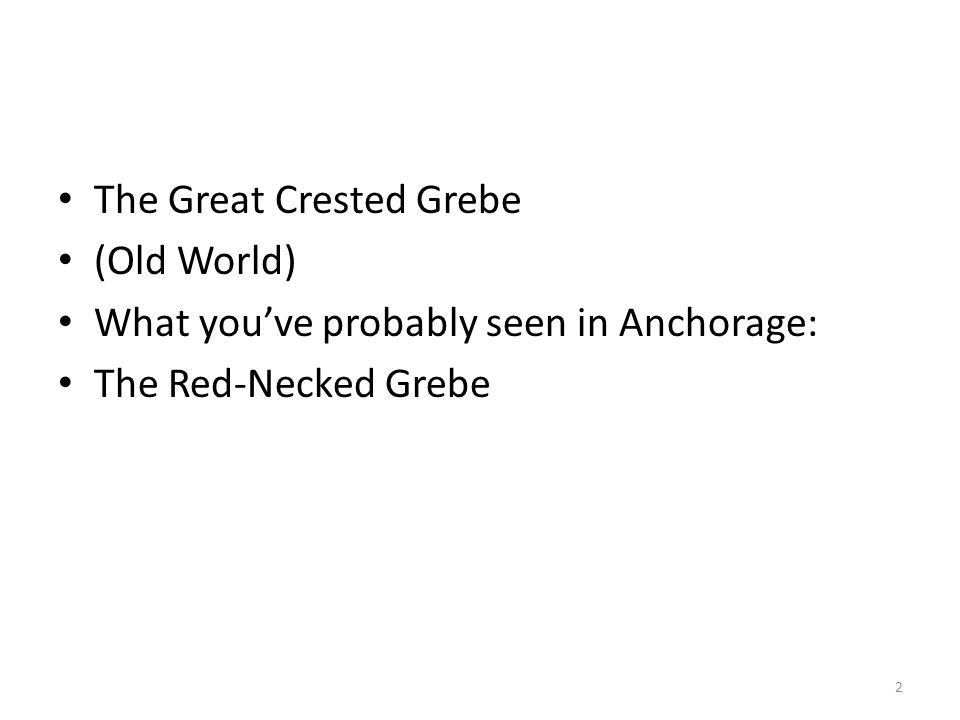 The Great Crested Grebe (Old World) What you've probably seen in Anchorage: The Red-Necked Grebe 2