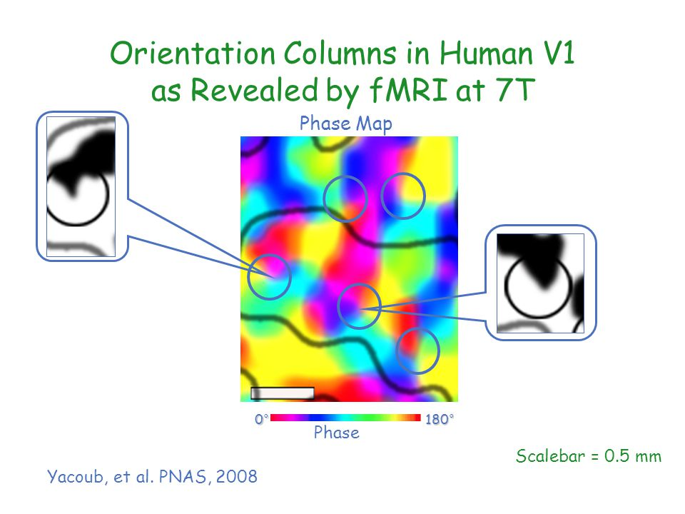 Scalebar = 0.5 mm Orientation Columns in Human V1 as Revealed by fMRI at 7T Phase 0°0°0°0° 180° Phase Map Yacoub, et al.