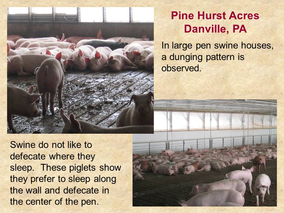 In large pen swine houses, a dunging pattern is observed.