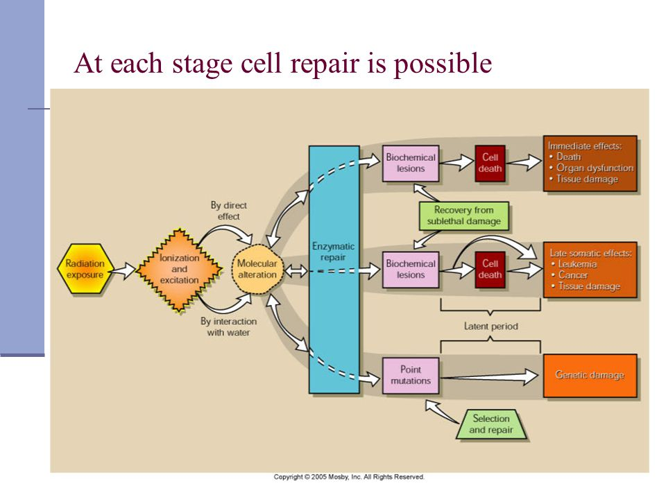 At each stage cell repair is possible