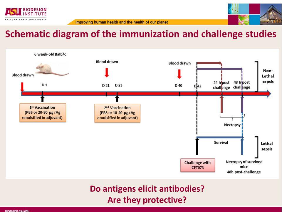 Schematic diagram of the immunization and challenge studies Do antigens elicit antibodies.