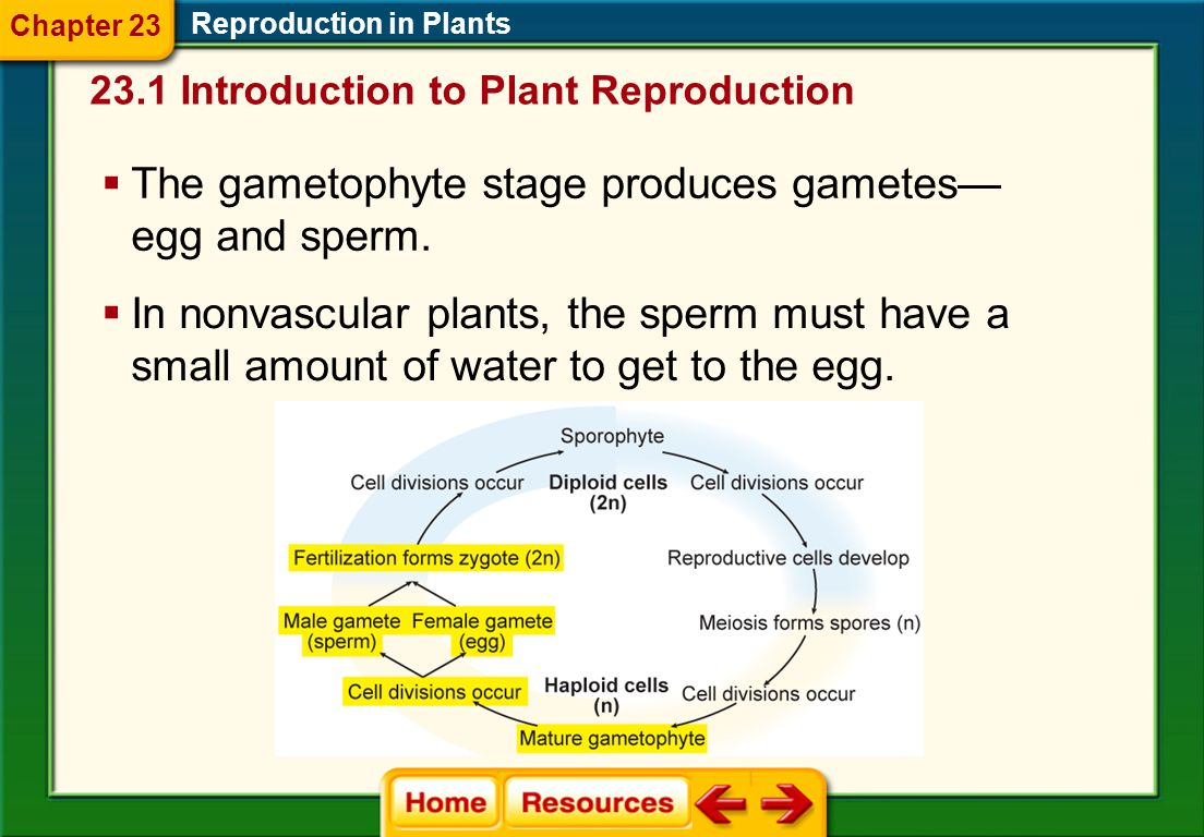 Alternation of Generations Reproduction in Plants  The life cycle of most plants includes a diploid (2n) sporophyte stage and a haploid (n) gametophy