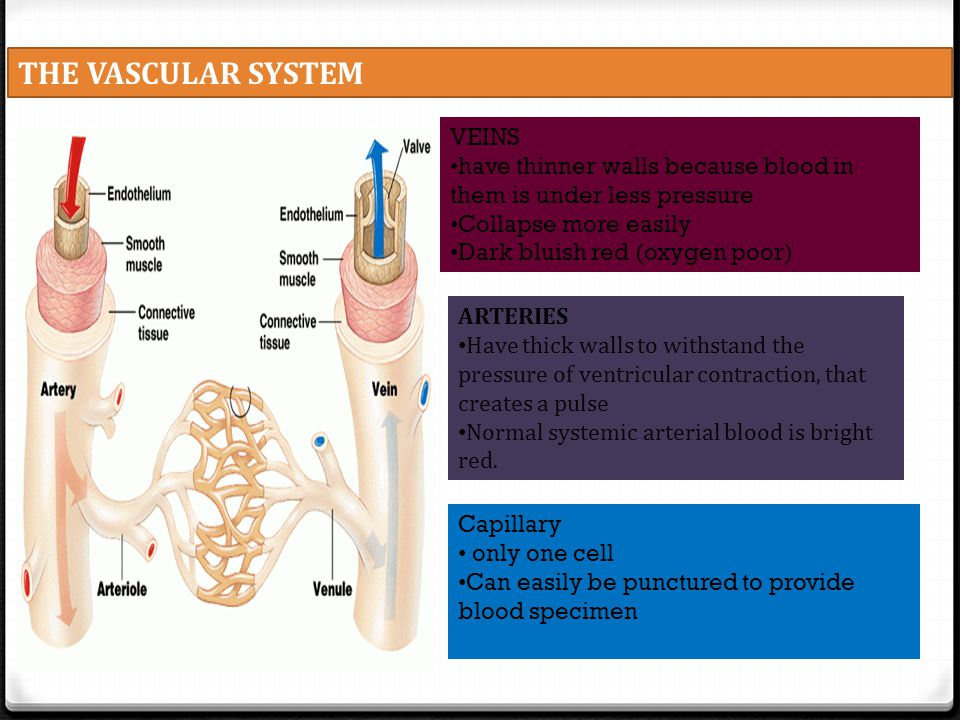 THE VASCULAR SYSTEM ARTERIES Have thick walls to withstand the pressure of ventricular contraction, that creates a pulse Normal systemic arterial bloo