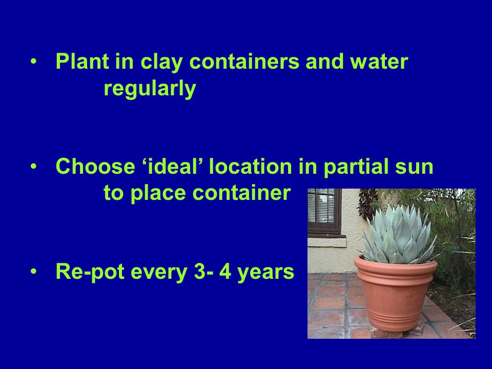 Plant in clay containers and water regularly Choose 'ideal' location in partial sun to place container Re-pot every 3- 4 years