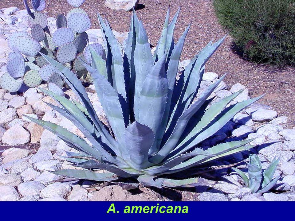 A. americana