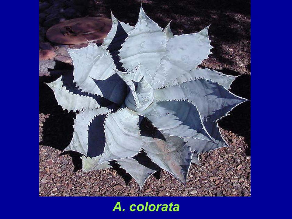 A. colorata