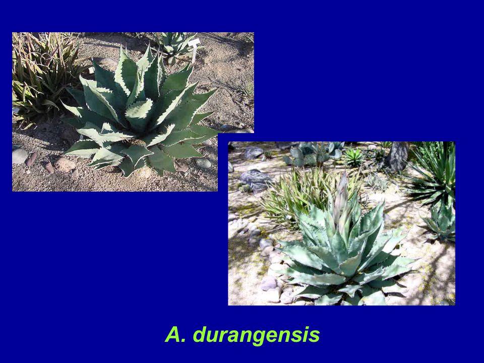 A. durangensis