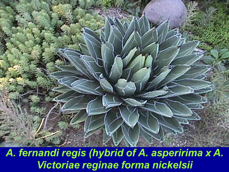 A. fernandi regis (hybrid of A. asperirima x A. Victoriae reginae forma nickelsii