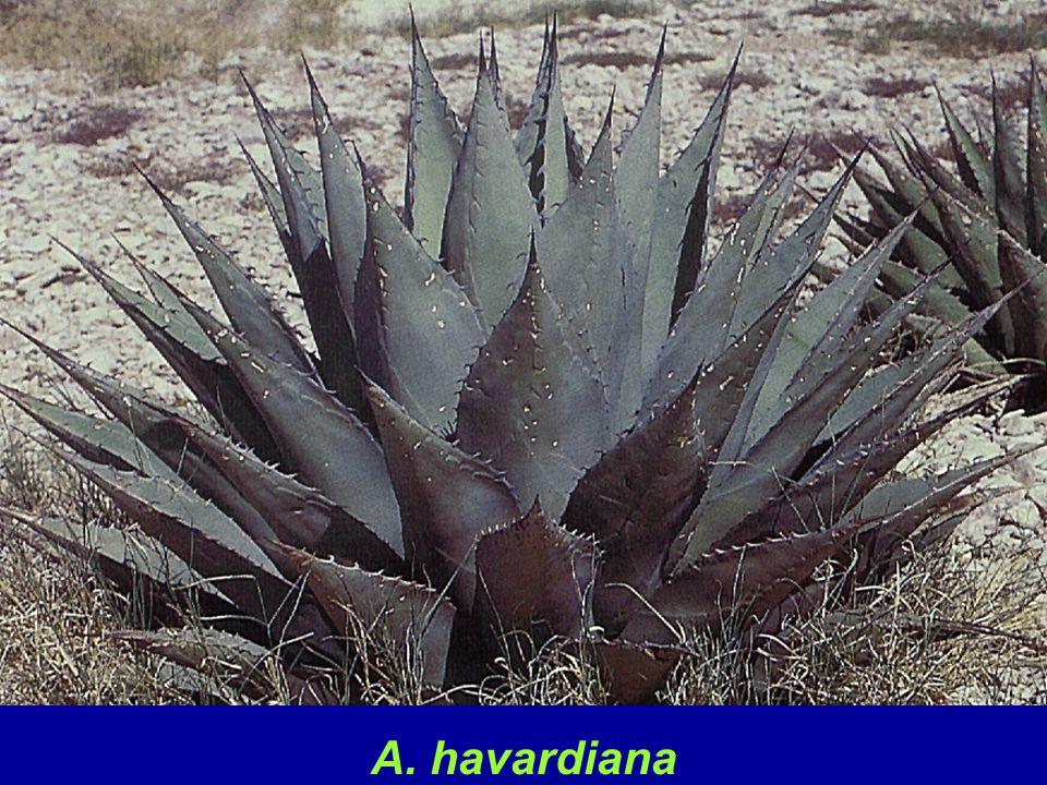 A. havardiana