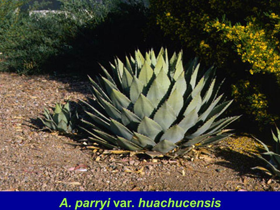 A. parryi var. huachucensis