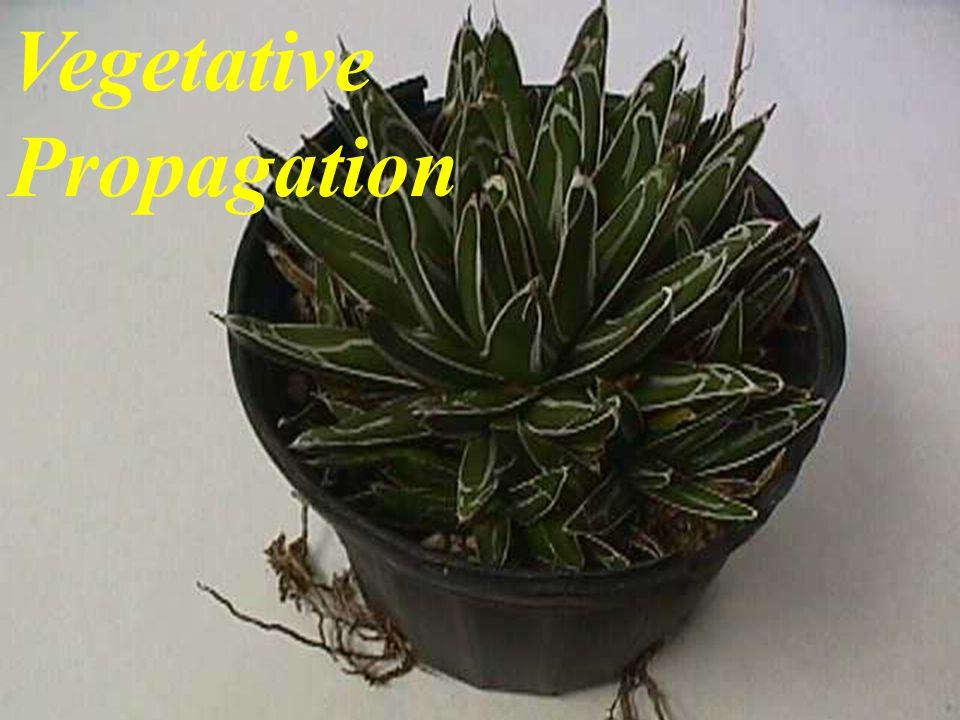Vegetative Propagation