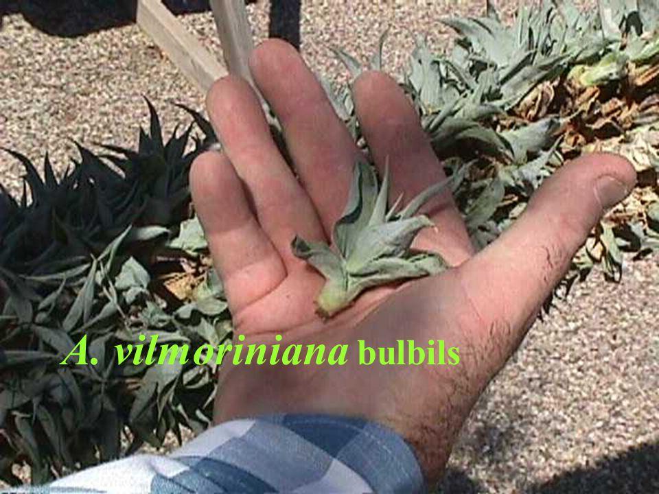 A. vilmoriniana bulbils
