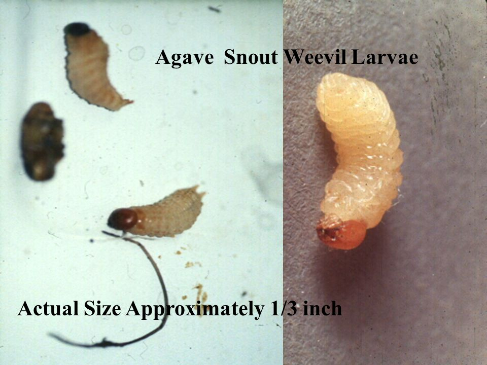 Agave Snout Weevil Larvae Actual Size Approximately 1/3 inch