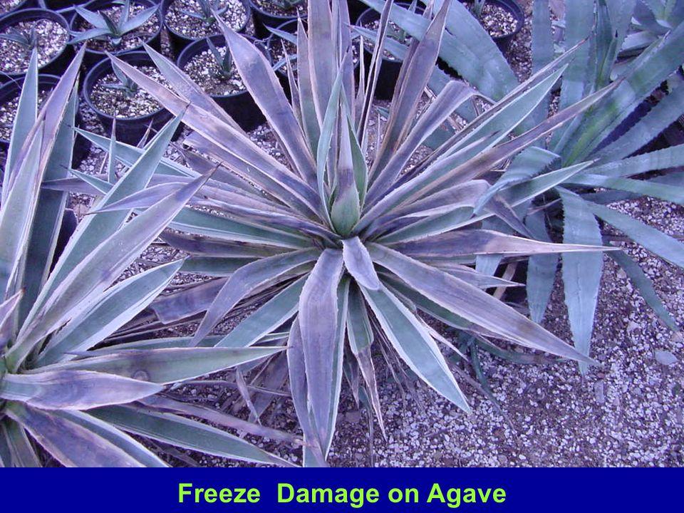 Freeze Damage on Agave