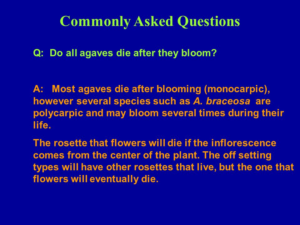 Commonly Asked Questions Q: Do all agaves die after they bloom? A: Most agaves die after blooming (monocarpic), however several species such as A. bra