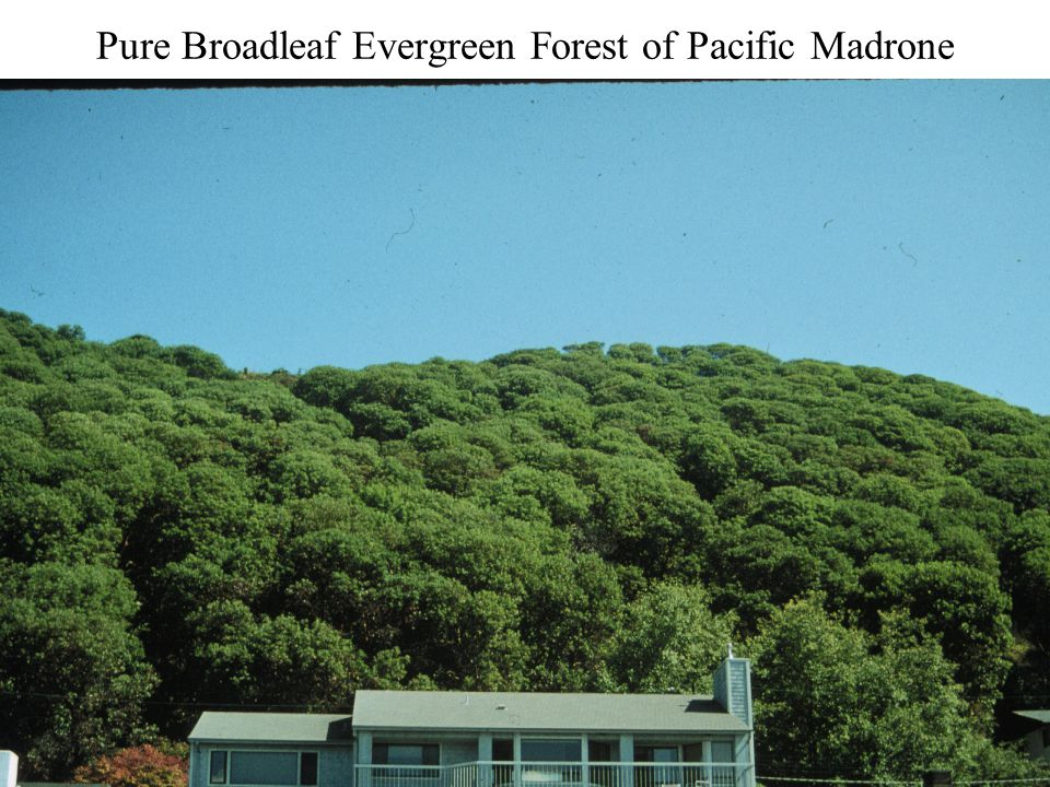 Pure Broadleaf Evergreen Forest of Pacific Madrone