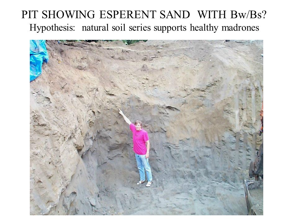 PIT SHOWING ESPERENT SAND WITH Bw/Bs? Hypothesis: natural soil series supports healthy madrones