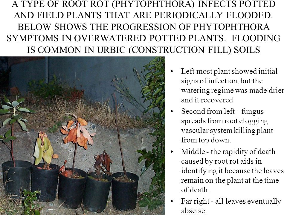 A TYPE OF ROOT ROT (PHYTOPHTHORA) INFECTS POTTED AND FIELD PLANTS THAT ARE PERIODICALLY FLOODED. BELOW SHOWS THE PROGRESSION OF PHYTOPHTHORA SYMPTOMS
