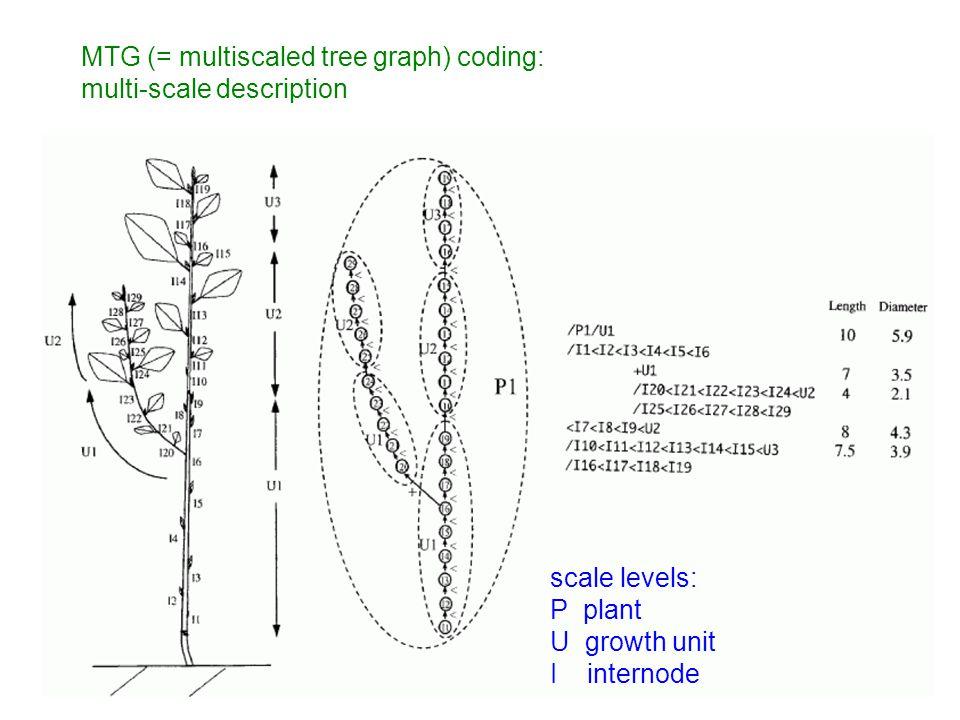 MTG (= multiscaled tree graph) coding: multi-scale description scale levels: P plant U growth unit I internode