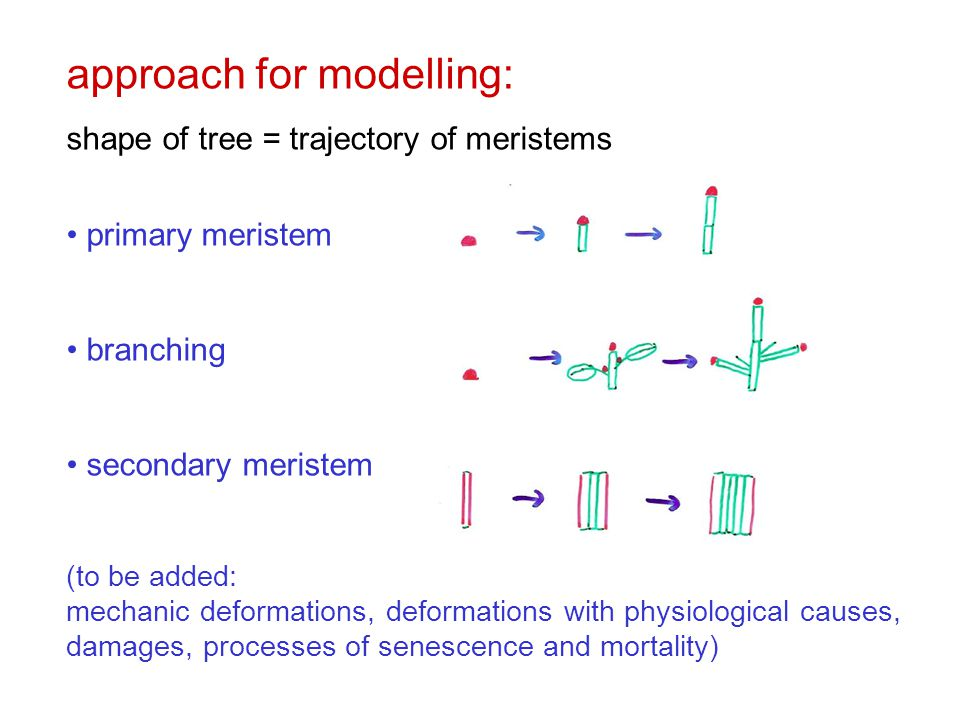 approach for modelling: shape of tree = trajectory of meristems primary meristem branching secondary meristem (to be added: mechanic deformations, deformations with physiological causes, damages, processes of senescence and mortality)