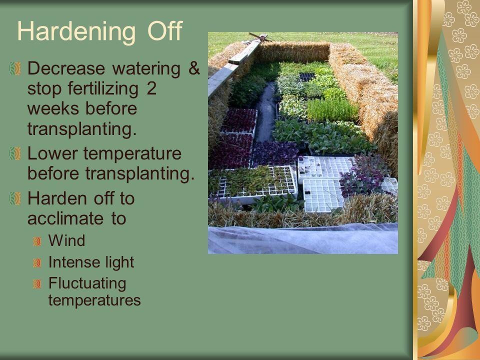 Hardening Off Decrease watering & stop fertilizing 2 weeks before transplanting.