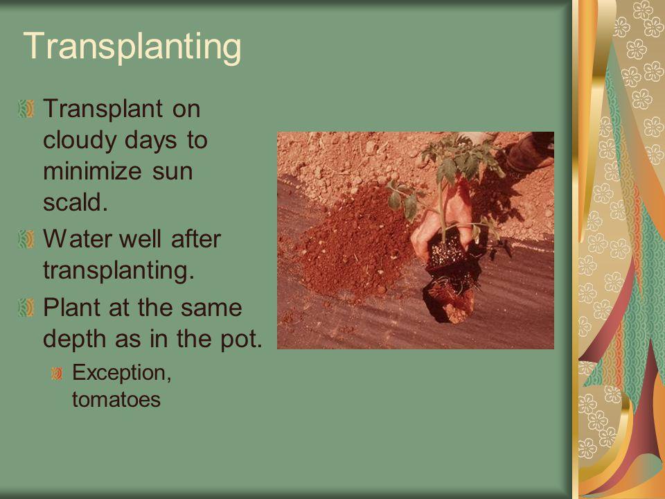 Transplanting Transplant on cloudy days to minimize sun scald.